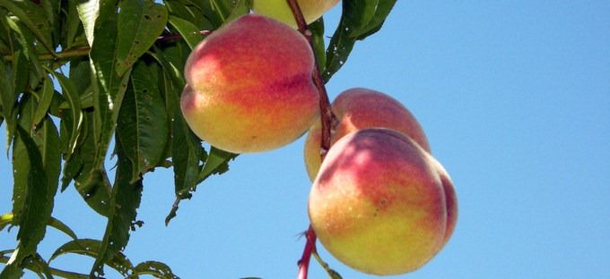 how to grow peach fro seeds