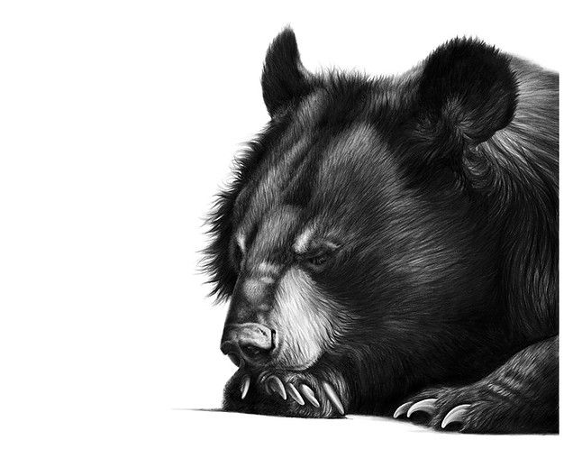 Best Artwork Richard Symonds Images On Pinterest Black And - Stunning drawings of endangered wild animals by richard symonds