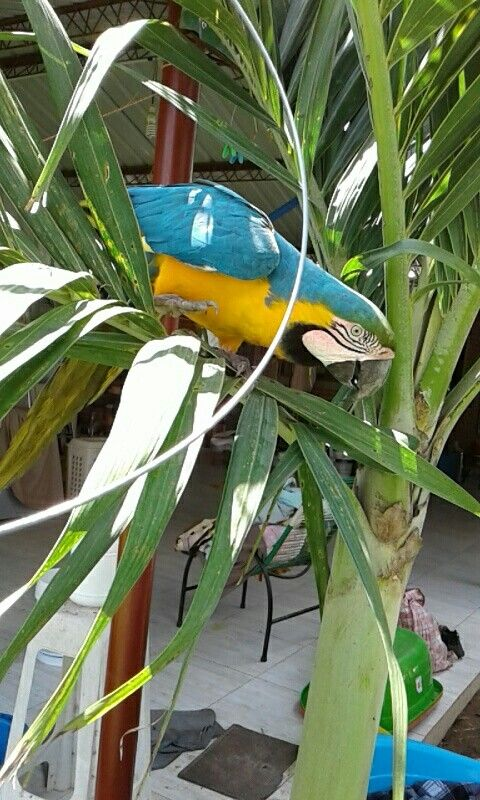 There's nothing more amazing then watching a parrot pay such close attention to you😍 #parrot #parrotlover #bluebird