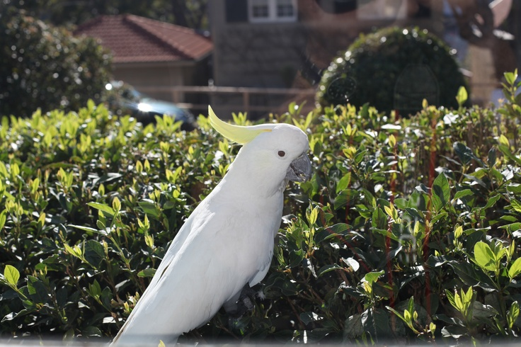 Sulphur Crested Cockatoo at Cremorne Point Manor. Friendly wild bird. We hand feed them (well I don't as I'm nervous about his 1 inch beak) But others do.