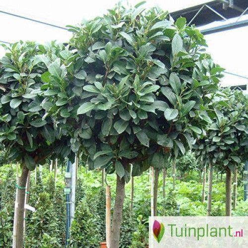 Laurier op stam https://www.tuinplant.nl/bomen/bomen-stam-hoogstam-boom/bloeiende-planten-stam/laurier-op-stam-prunus-laurocerasus-etna-stam