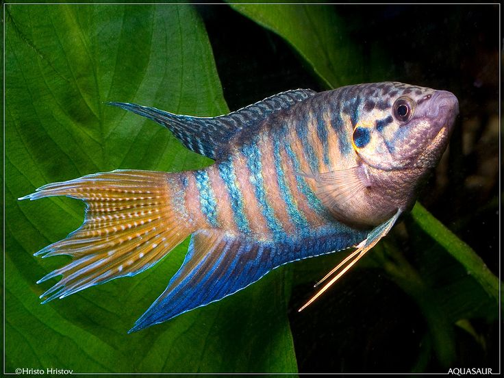 Paradise Fish from Florida Pond Management Fish Stocking A diverse fish population is important to create a healthy and balanced lake or pond. Florida Pond Management can analyze your needs and provide an appropriate stocking program. http://www.floridapondmanagement.com/services/