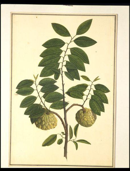 Custard-apple plant (Painting)