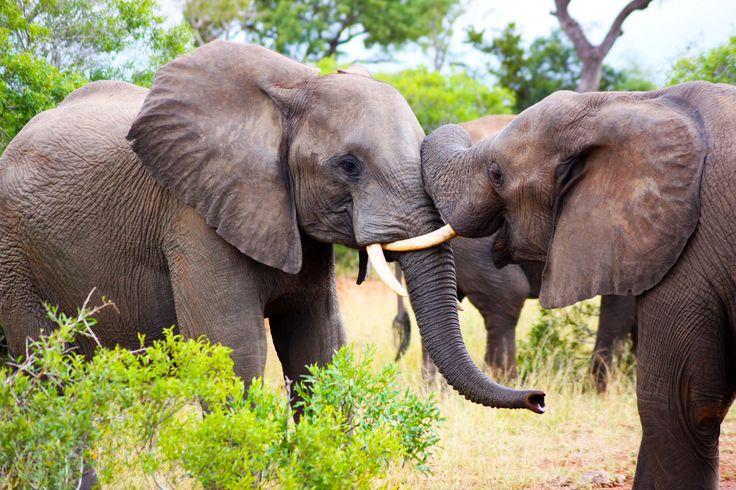 Safari - elefante