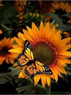 Free Animated Wallpaper Backgrounds Download Free Sunflower And Butterfly Mobile Wallpaper