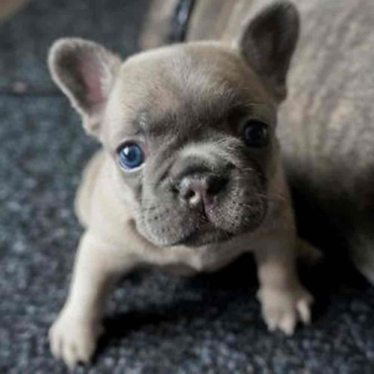 French Bulldog Puppies Cute Bulldog Puppies French Bulldog