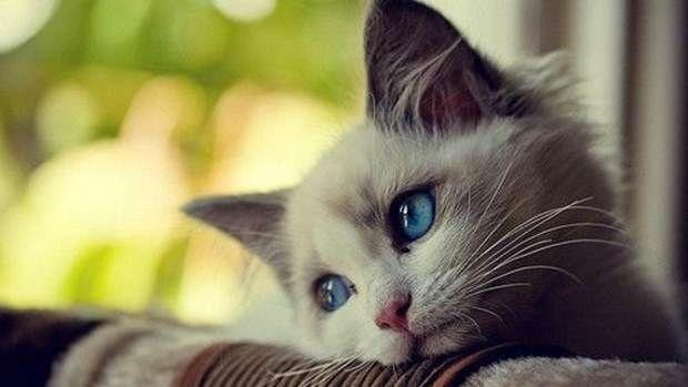 Mengoleksi Daftar 50 Gambar Foto Kucing Lucu Jenis Anggora Atau