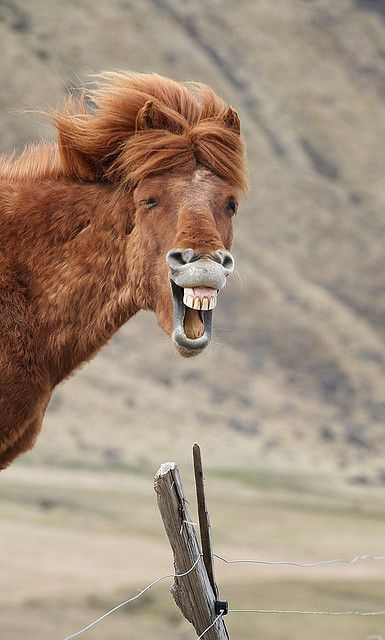 another talking horse Mr. ED except maybe this horse has found something funny to laugh out loud //Manbo
