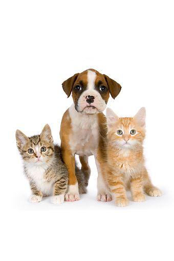 DOK 01 RK0531 01 © Kimball Stock Boxer Puppy And Orange And Tabby Kittens On White Seamless Studio