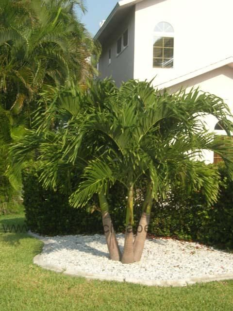 The Dwarf Royal Palm Performs At Its Best When Planted In