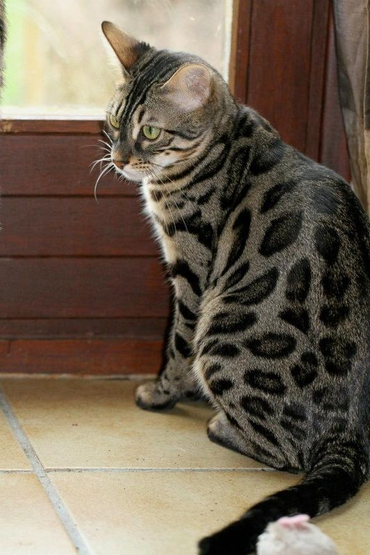 Charcoal bengal cat price
