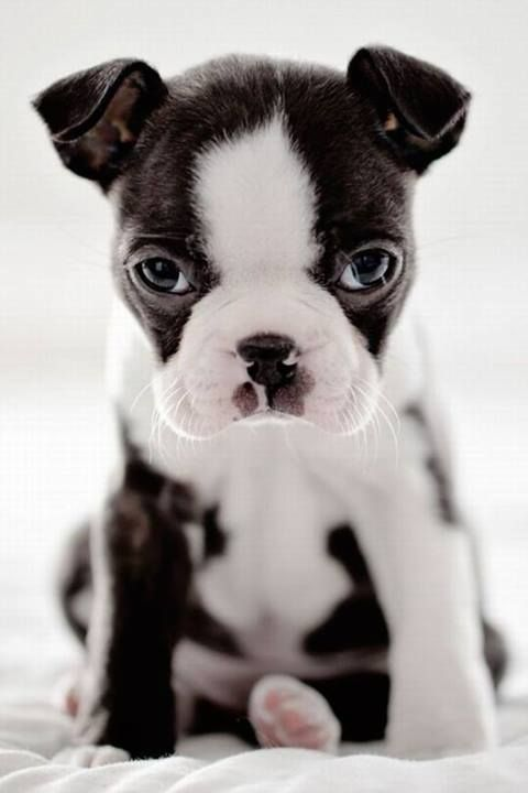Boston terrier puppy :-)