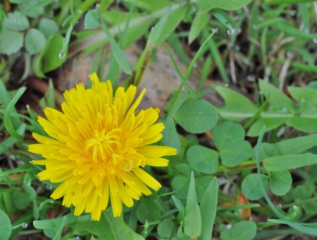 Identifying weeds. Helpful sites.  Don't use chemicals to get rid of them please.