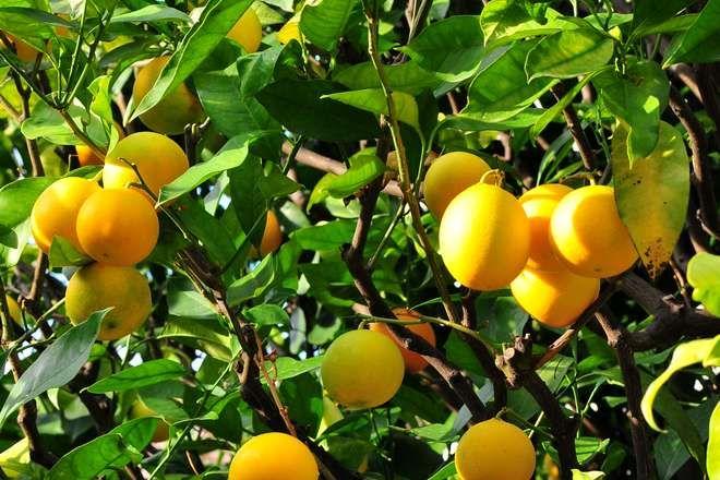 Oranger En Pot Comment Le Cultiver Recolter Tous Les Conseils De Culture Des Agrumes En 2020 Cultiver Jardinage Balcon Jardinage