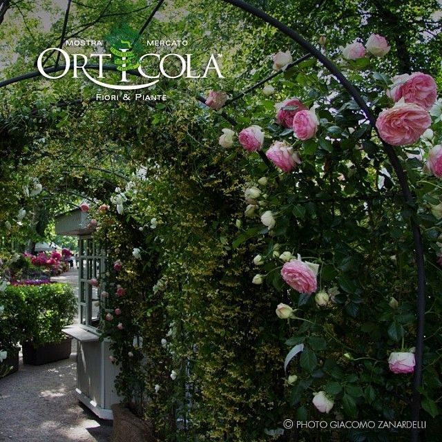 #italian #garden with #rose