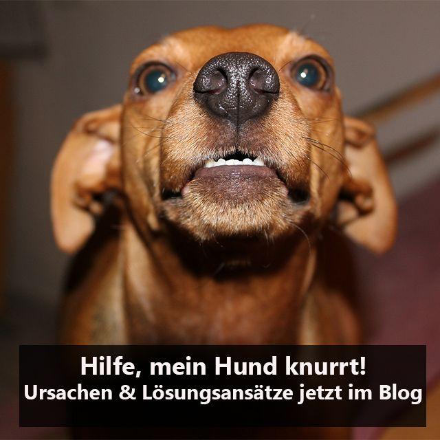 Hilfe, mein Hund knurrt! Richtig interpretieren und einschätzen!