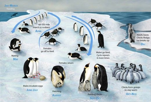 Check out the Emperor Penguin's life cycle!  They are the only penguin that stays in Antarctica year round.