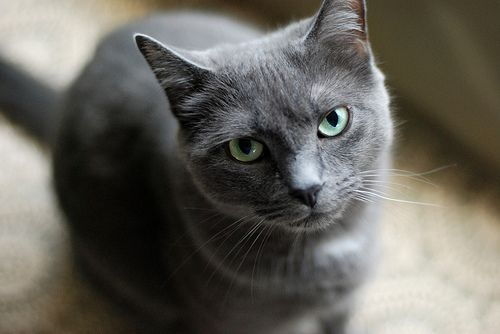 Russian blues are so cute <3