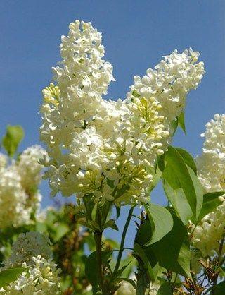 3597-syringa-vulgaris-primrose-common-lilac