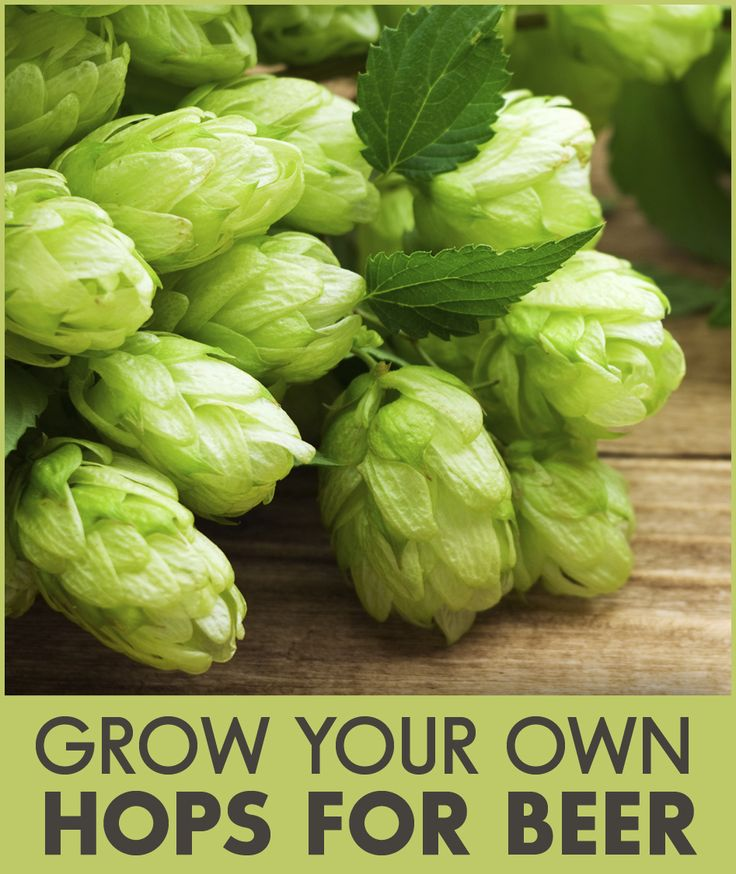 Brewing your own beer can be a fun and rewarding hobby! Part of the brewing process includes adding hops to give beer its distinctive flavor. Did you know that you can grow your own hops? The farming experts at Southern States can offer great advice on how to grow hops in your home garden.
