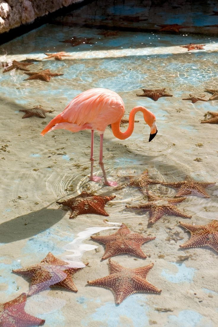 Flamingo wading in a pool of starfish.