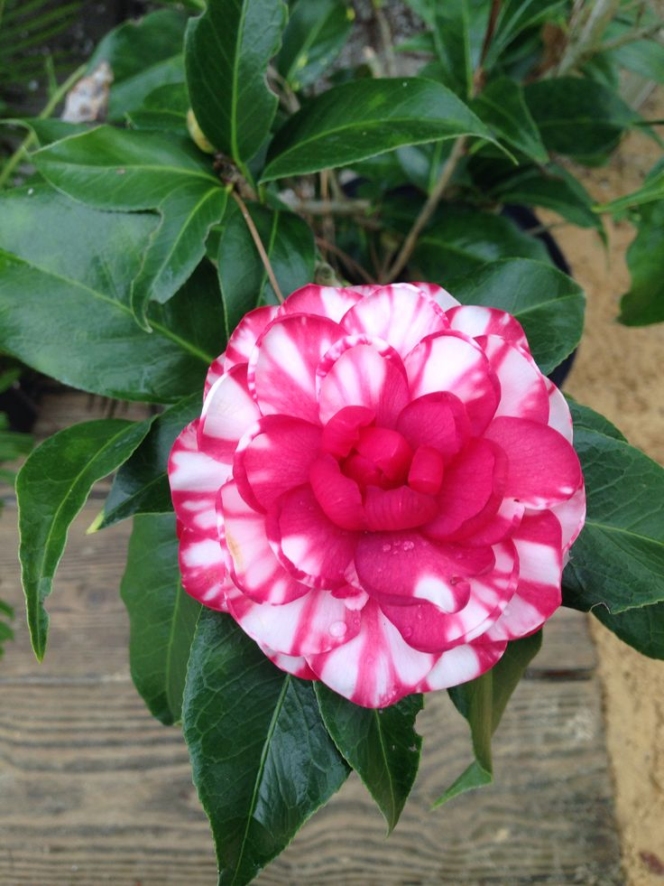 117 Best Camellia Images On Pinterest Camellia Wines