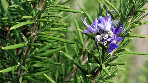 Rozmarýn lékařský – Rosmarinus officinalis (foto: Loadmaster, Wikimedia)
