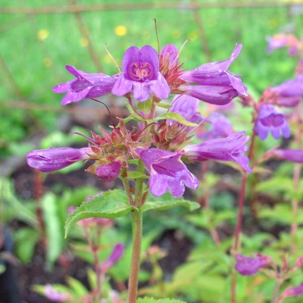 70 best yard  native plant ideas for pnw wildlife garden images on pinterest