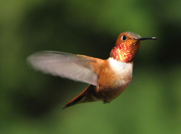 Hummingbirds: Feeder, Food, & More!