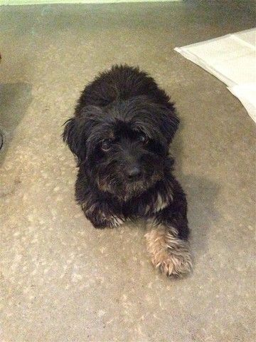 Check out Lulu's profile on AllPaws.com and help her get adopted! Lulu is an adorable Dog that needs a new home. https://www.allpaws.com/adopt-a-dog/yorkshire-terrier-yorkie-mix-shih-tzu/7065876?social_ref=pinterest