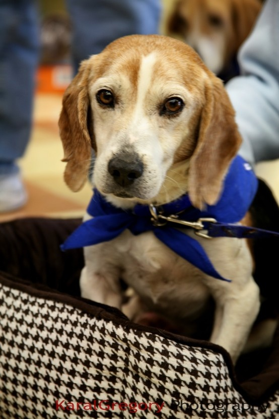 25 Best Happy Tails-Our Adopted Beagles Images On
