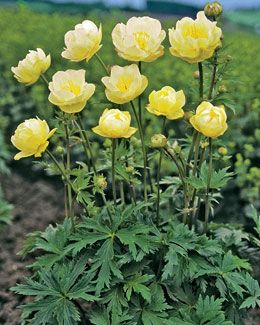 """Globeflower, New Moon [Dutch Gardens] Partial Sun. Blooms late spring to early summer.  Plant Height: 24""""  Spacing: 20""""  Hardy In: 3-7"""