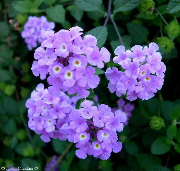 Purple lantana: A great perennial for hot summers, low water requirement, flexible for either containers or planting beds,  and long blooming season. So pretty to pair with its color complement, gold or yellow.