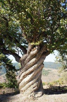Yaklaşık 200 yıllık Armut agacı / Kastamonu