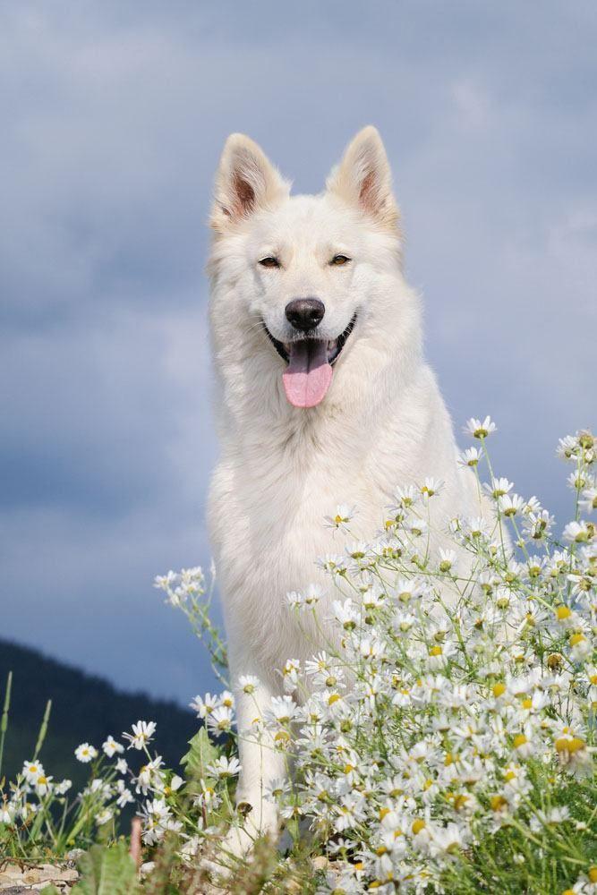 White German Shepherd in flower field