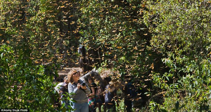 A tourist photographing Monarch butterflies, which have partly increased in number over th...