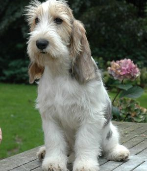 Grand Basset Griffon Vendeen. The breed is extremely friendly. It has a penetrating bay.
