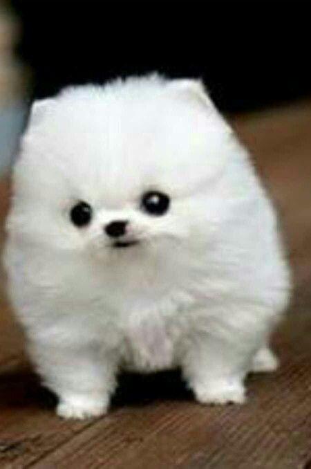 Puff Ball Dog How Cute Pinterest Dogs