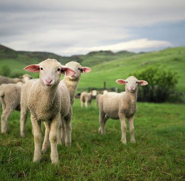 lambs in field >>Unfinished, Undone, (yet somehow not) coming Unglued 5-3-2012