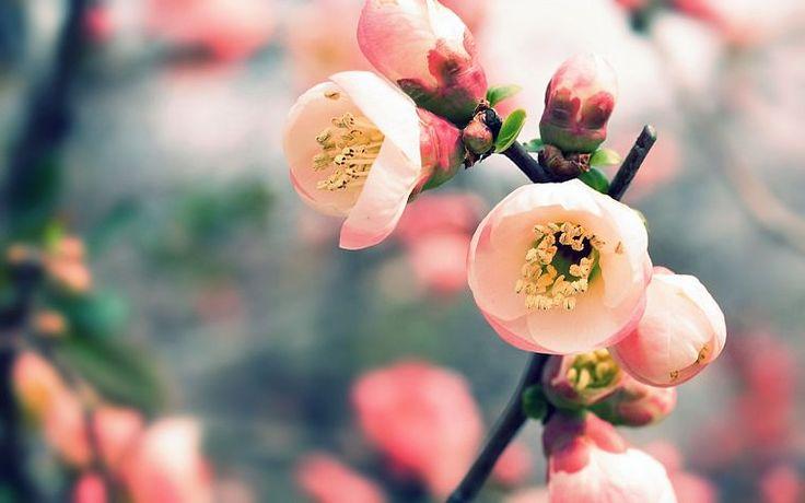 природа, вишня, цветы, весна, цветение, макро, глубина резкости, размытые - обои для рабочего стола