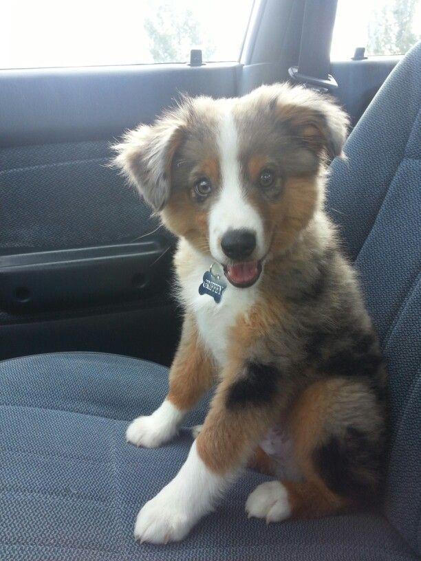Mini Australian Shepherd s on Pinterest | Mini Australian Shepherds, Mini Aussie and Aussie Puppies