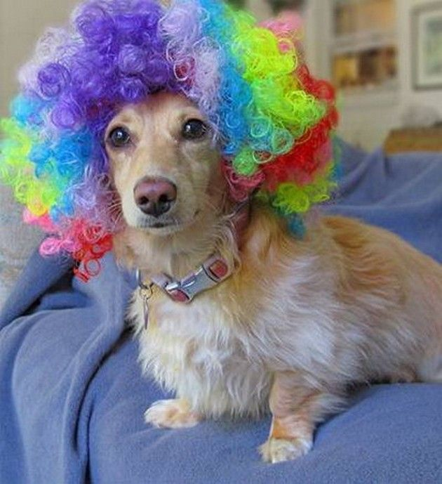 Funny Dogs with Wigs (21 Pics)