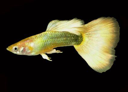 Male Yellow German Guppy Freshwater Aquariums The Fish