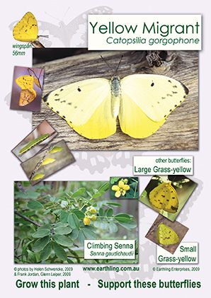 Enlarged view of poster featuring Yellow Migrant butterfly