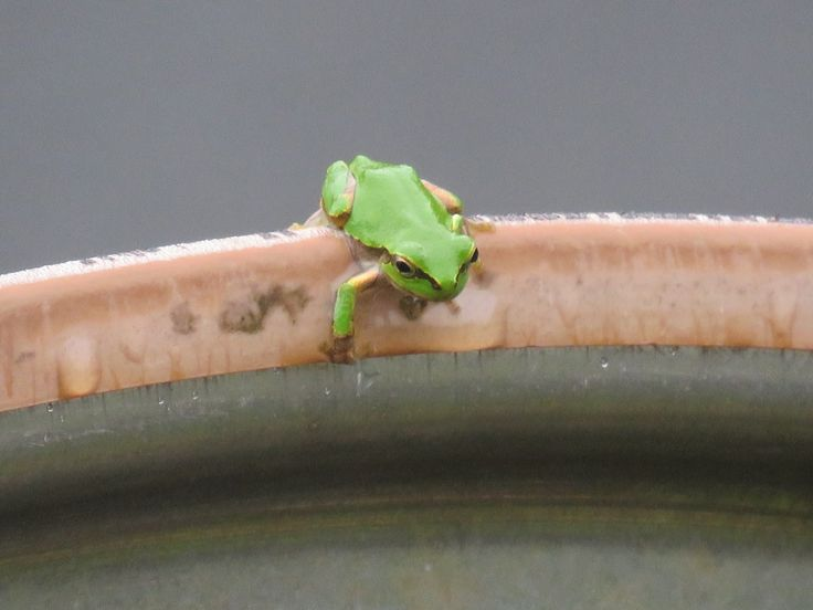 カーブミラーの上のカエル. a frog on a convex traffic mirror while it's rainning.30 September 2016.