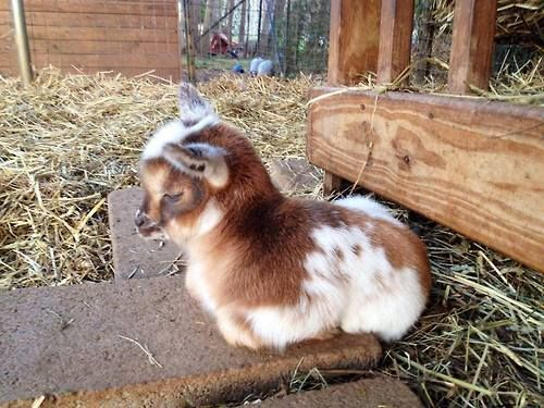 Yes, I would like a baby goat loaf, please