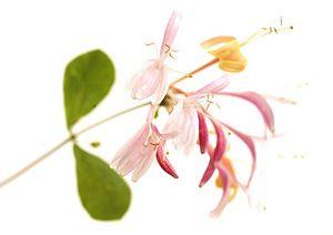 honeysuckle-fiori-di-bach