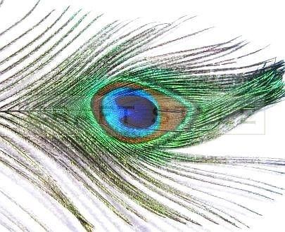 PAW pióro pawia ok 25-30cm