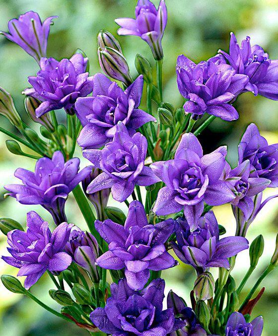 фото фиолетовая фрезия в саду что