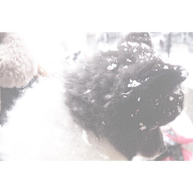 . . 〝  積 〟 . . . #pomeranian #pome #dog #instadog #olympus倶楽部 #olympus #olympuspenepl7 #camera #instagood #instagram #pic #photography #snow #winter #japan #カメラ女子 #ファインダー越しの私の世界 #写真好きな人と繋がりたい #写真撮ってる人と繋がりたい #愛犬 #ポメラニアン #犬 #犬のいる暮らし #ふわもこ部 #いぬすたぐらむ #小鉄🐶 #朝活 #散歩 #暮らし #雪